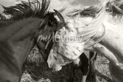 Fototapet Två hästar hälsning varandra
