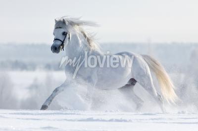 Fototapet Biały Kon galopuje w polu w zimie