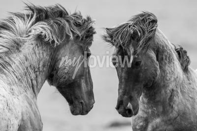 Fototapet Två hästar lekfullt kämpar tillsammans