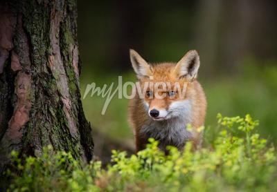 Fototapet Foxjakt i europa skog
