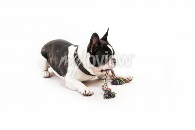 Fototapet Hund med leksaken på vit bakgrund