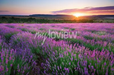 Fototapet Meadow of lavender