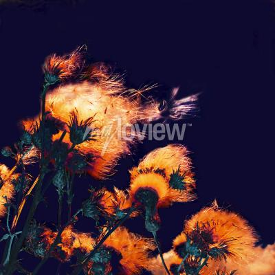 Canvastavlor Silhouettes of bright fuzzy dry flowers and flying seeds on dark background