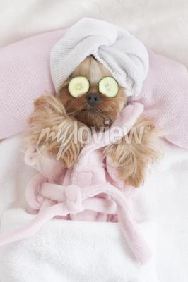 Affisch Yorkshire Terrier Relaxing at the Dog Grooming Spa