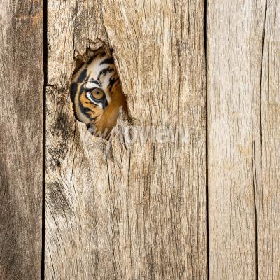 Fototapet Siberian tiger eye in wooden hole in concept of secretly dangerous